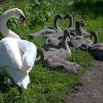 Large swan family in Preston
