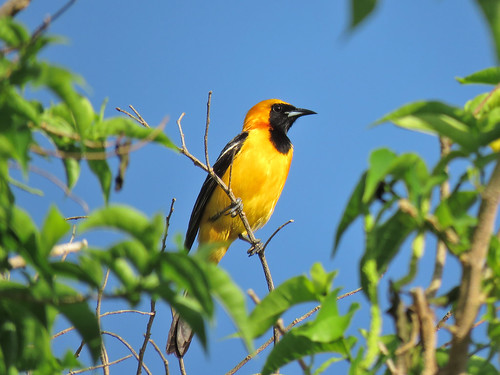Hooded Oriole | by mggoodwin56