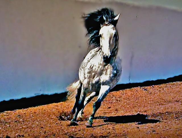 Spanische Kartäuser Pferde , Spanish Carthusian horses (serie) , 76753/11634