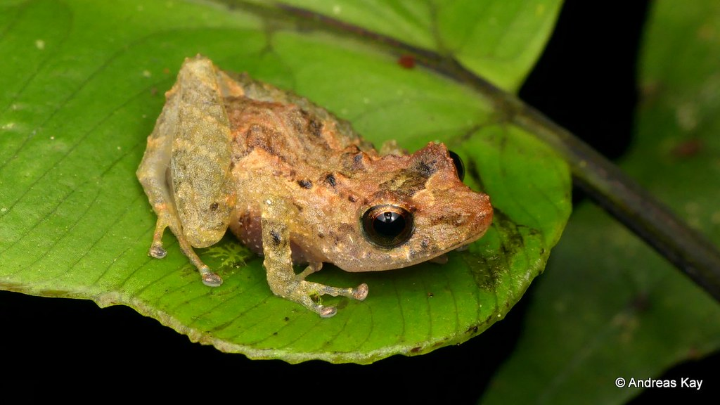 Rainfrog, Pristimantis altamnis