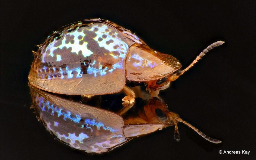 Tortoise Beetle, Cassidinae