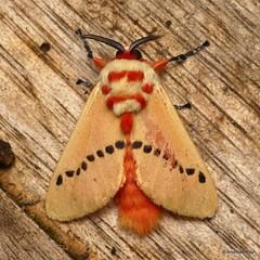 Flannel Moth, Trosia sp., Megalopygidae