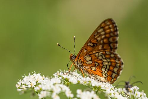 Fjäril / Butterfly