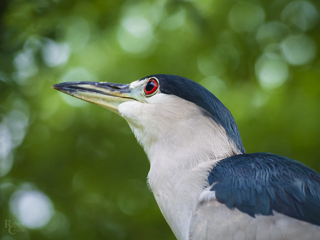 Heron in Profile