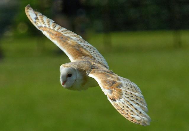 Barney The Barn Owl