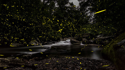 photinuscarolinus fireflies firefly summernights smokies greatsmokymountains gsmnp cascade woodlands glow bioluminescence bioluminescent tennessee tn