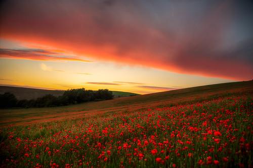 Opium fields