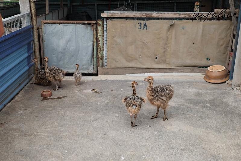 Ostrich Wonderland (18)