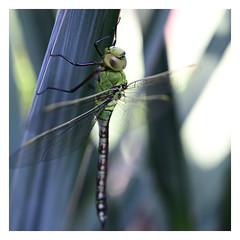 Grote keizerlibel jong mannetje