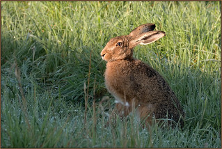 Brown Hare (image 1 of 3)