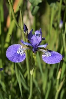 Midsommar, ljuvlig blå färg på irisen.