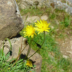 Ingleton Waterfalls Trail - Thornton Force, dandelion