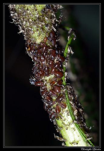 Brachycaudus tragopogonis on Tragopogon pratensis