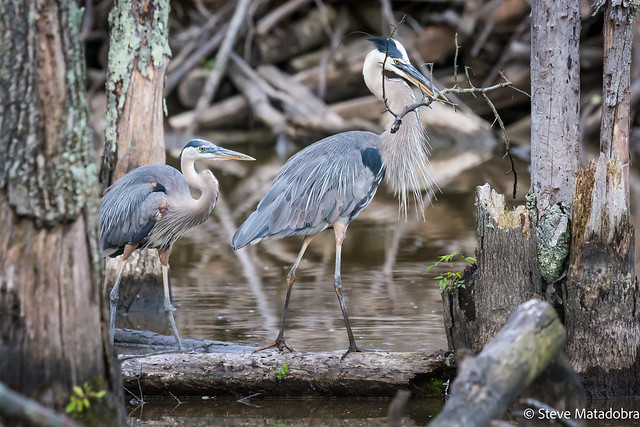 Great Blue Heron building the nest.