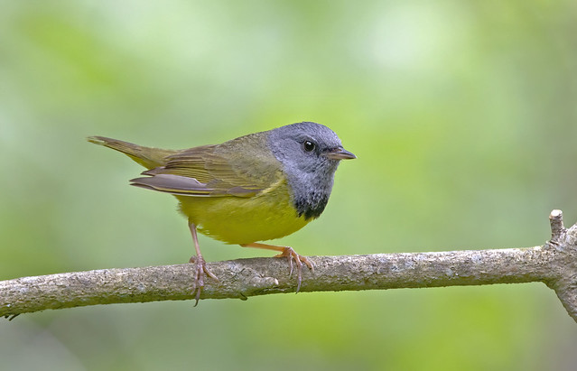 Mourning warbler male