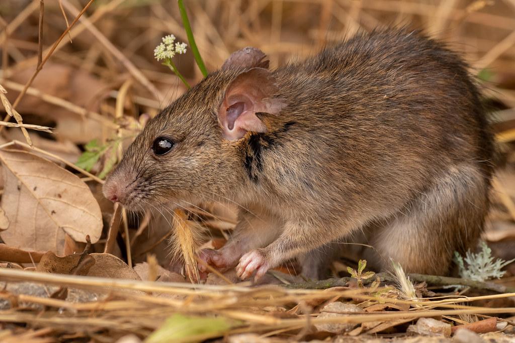 Brown Rat - Ratazana-castanha - Rattus norvegicus