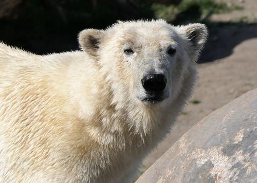 Eisbär Aron - Zoo Tallinn