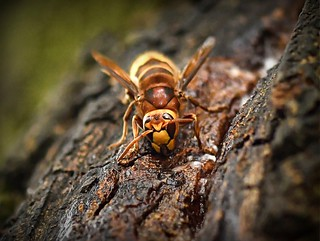 Hornet on the tree sap