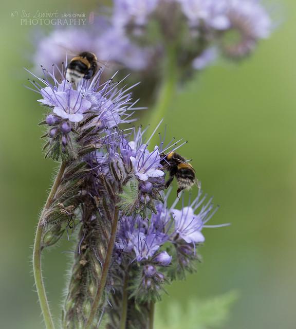 Bees love it!
