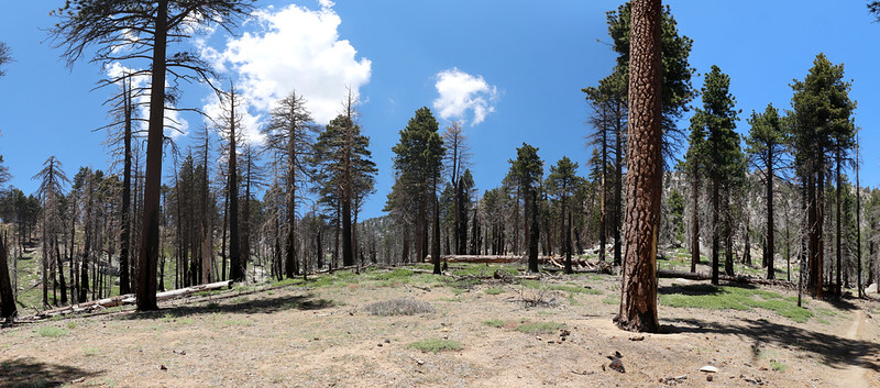 This section of open forest on the Willow Creek Trail only burned partially during the Mountain Fire