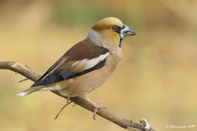 Bico grossudo - Coccothraustes coccothraustes - Hawfinch