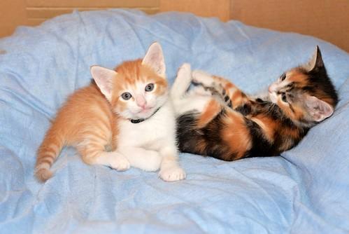 Rinah, gatita tricolor Calicó guapa y divertida esterilizada, nacida en Mayo´19, en adopción. Valencia. 48115904568_8b71e43c31