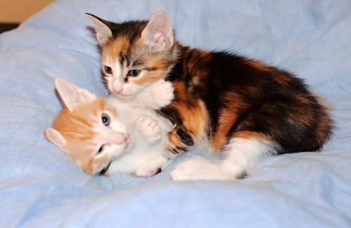 Rinah, gatita tricolor Calicó guapa y divertida esterilizada, nacida en Mayo´19, en adopción. Valencia. 48115905753_4c4b7f6eb7