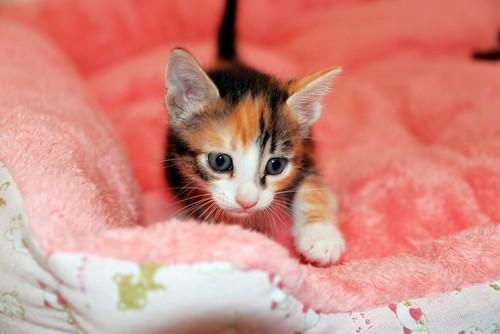 Rinah, gatita tricolor Calicó guapa y divertida esterilizada, nacida en Mayo´19, en adopción. Valencia. 48115909293_7611f6afc4