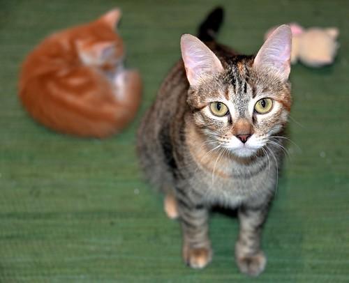 Rita, gatita parda con toques rubios dulzona y buena esterilizada, nacida en Enero´18 esterilizada, en adopción. Valencia. 48115935188_fac544d251