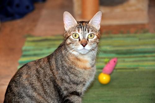 Rita, gatita parda con toques rubios dulzona y buena esterilizada, nacida en Enero´18 esterilizada, en adopción. Valencia. 48115936233_0f04545030