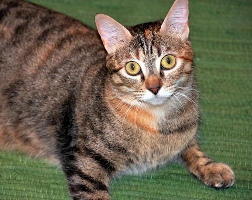 Rita, gatita parda con toques rubios dulzona y buena esterilizada, nacida en Enero´18 esterilizada, en adopción. Valencia. 48115937633_b22fc6f1ec
