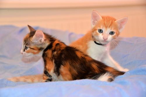 Rinah, gatita tricolor Calicó guapa y divertida esterilizada, nacida en Mayo´19, en adopción. Valencia. 48115970612_8841f674ff