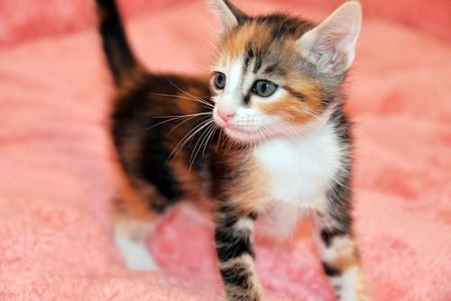 Rinah, gatita tricolor Calicó guapa y divertida esterilizada, nacida en Mayo´19, en adopción. Valencia. 48115971457_3183996411