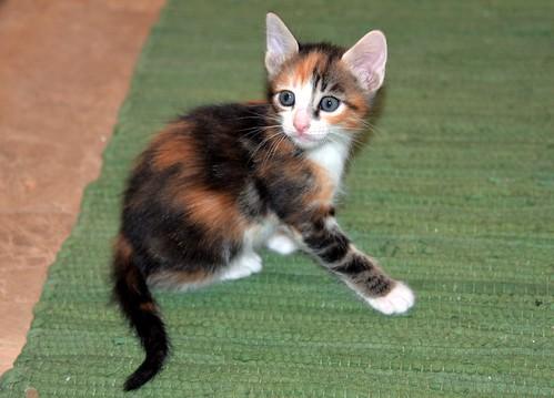 Rinah, gatita tricolor Calicó guapa y divertida esterilizada, nacida en Mayo´19, en adopción. Valencia. 48115973542_9d5a59f2e1