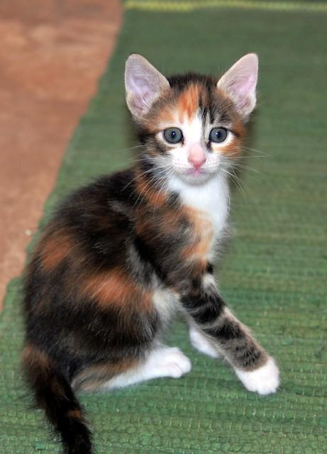 Rinah, gatita tricolor Calicó guapa y divertida esterilizada, nacida en Mayo´19, en adopción. Valencia. 48115973737_64e7b2248b_z