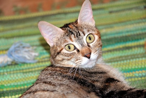 Rita, gatita parda con toques rubios dulzona y buena esterilizada, nacida en Enero´18 esterilizada, en adopción. Valencia. 48115998402_3149714fb3