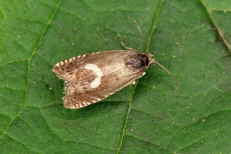 49.351 Northern Crescent Piercer - Grapholita lunulana