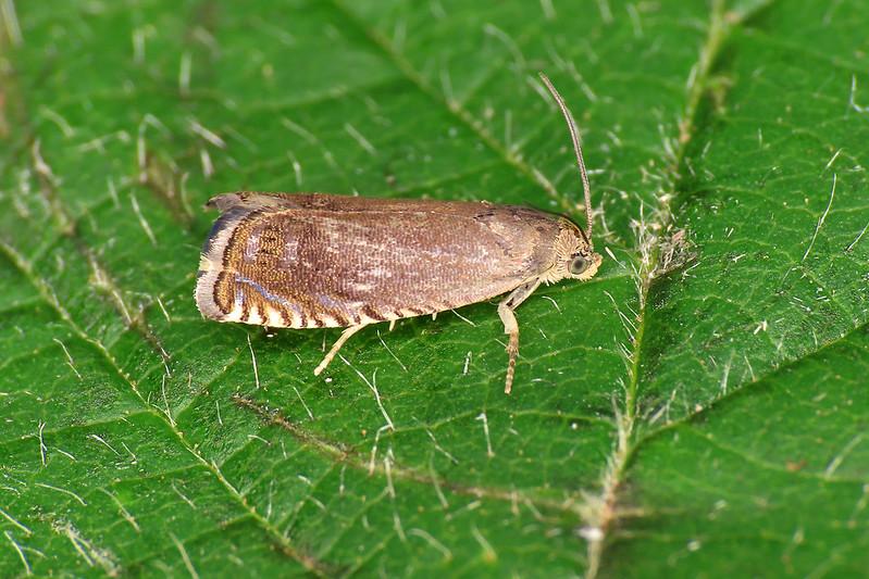 49.324 Pea Moth - Cydia nigricana