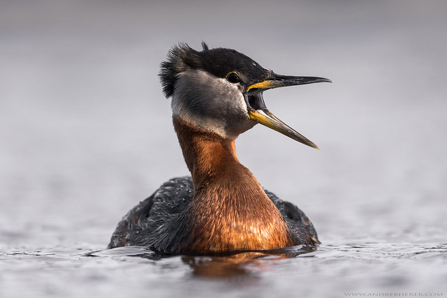 Red-necked Grebe - Grèbe jougris