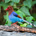 Sri Lanka Blue Magpie - Urocissa ornata