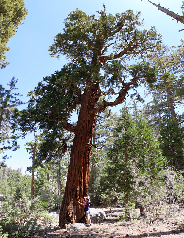 Vicki being a tree-hugger with a huge old Cedar at Caramba Camp near Tahquitz Creek