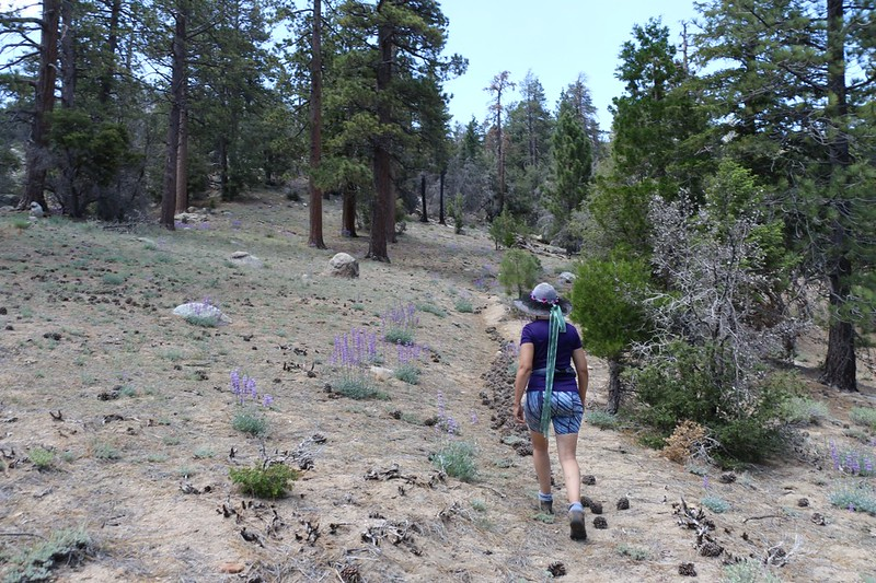 The unmaintained Caramba Trail is filled with pinecones as we climb uphill out of Caramba Camp