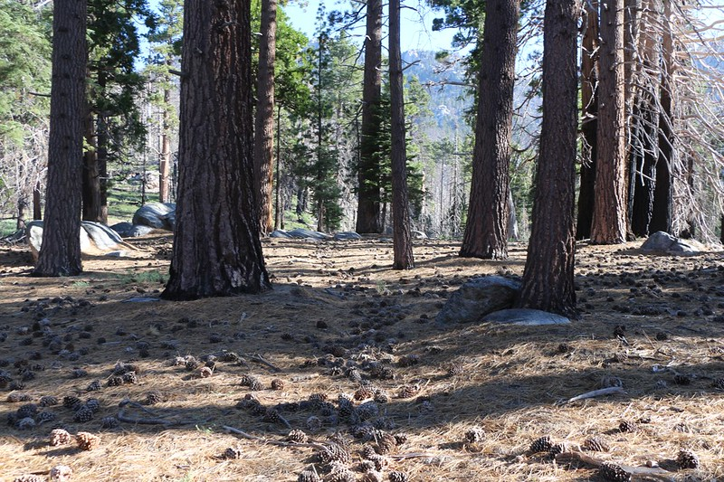 You can still see where the unmaintained Caramba Trail heads out of Laws Camp - but it's filled with pinecones!