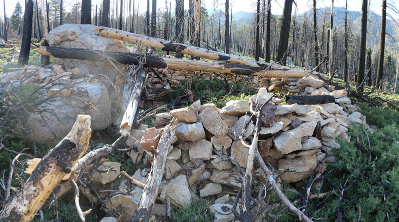 A view of the stone walls of Laws Camp, now in the buckthorn-overrun burned zone