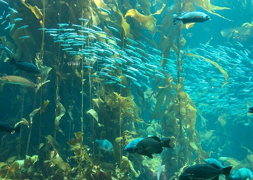 Kelp Forest Exhibit at the Monterey Bay Aquarium. From 7 Tips for Making the Most of Your Visit to the Monterey Bay Aquarium