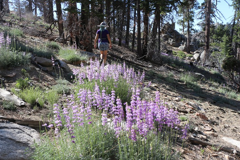 Lupines blooming in June on the Caramba Trail
