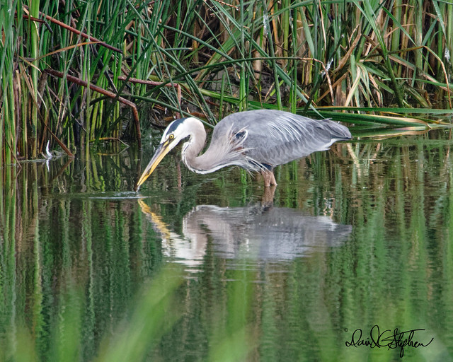 Great Blue Heron Catches A Snack