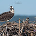 Osprey of the Jersey Shore | 2019 - 18