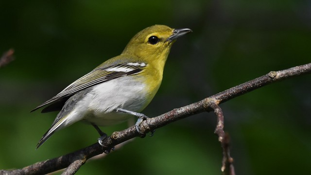 Yellow-throated Vireo - Valley Forge Park