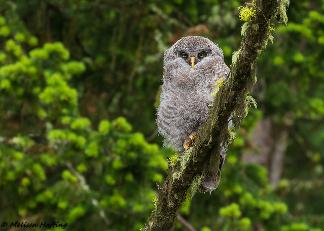Great Gray Owlet (Strix nebulosa) -  British Columbia